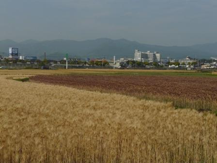 麦秋の麦畑 6