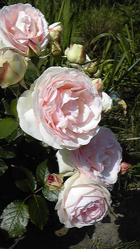 滝ちゃんちの薔薇1
