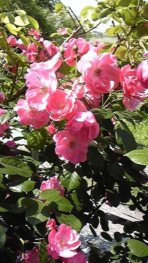 滝ちゃんちの薔薇2