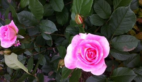 rose2 2013.05.02