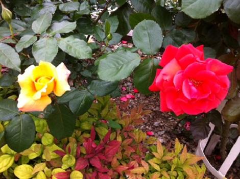 rose 2013.05.01