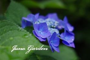 3ブルー紫陽花
