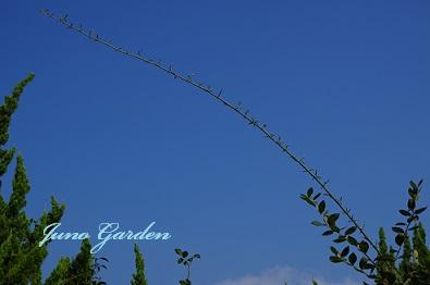 枝モッコウバラの