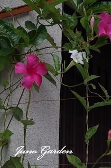 ラ白とピンクのマンデビ
