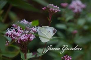 蝶々フジバカマと