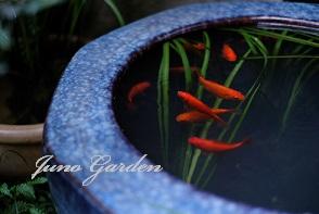 金魚火鉢の