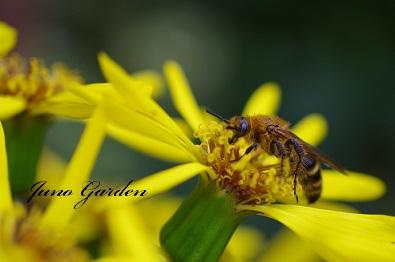 蜂ツワブキと