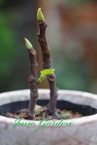 イチジク挿し木