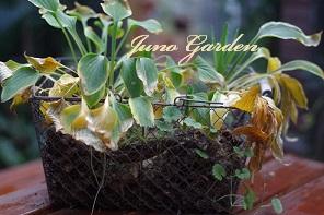 植え替えギボウシ
