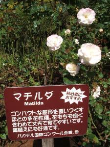 花巻温泉街バラ園2013-10-13-037