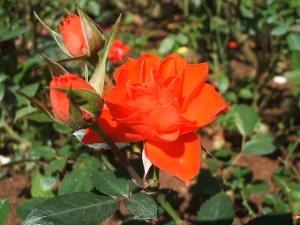 花巻温泉バラ園2013-10-13-047