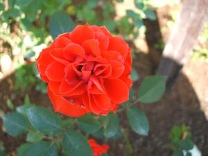 花巻温泉バラ園2013-10-13-046