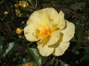 花巻温泉バラ園2013-10-13-074