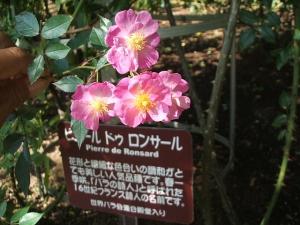 花巻温泉バラ園2013-10-13-081
