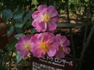 花巻温泉バラ園2013-10-13-080