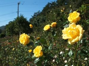 花巻温泉バラ園2013-10-13-088