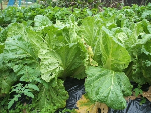 家庭菜園2013-10-21-003