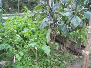 家庭菜園2013-10-21-008