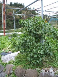 家庭菜園2013-10-21-007