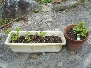 家庭菜園2013-10-21-020
