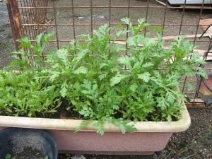 家庭菜園2013-10-21-017