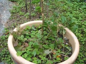 家庭菜園2013-10-21-021