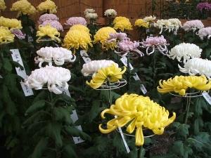 a中尊寺菊祭り2013-10-26-049