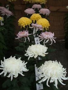 a中尊寺菊祭り2013-10-26-048