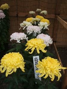a中尊寺菊祭り2013-10-26-047