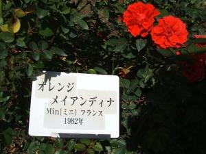 花巻温泉バラ園2013-10-13-125
