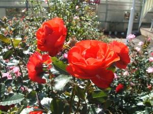 花巻温泉バラ園2013-10-13-143