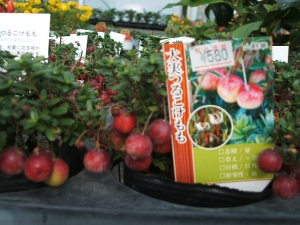 花巻温泉バラ園2013-10-13-162