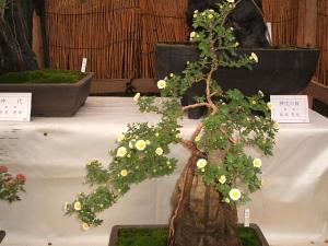 中尊寺菊祭り2013-10-26-033