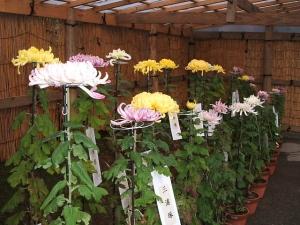 中尊寺菊祭り2013-10-26-029