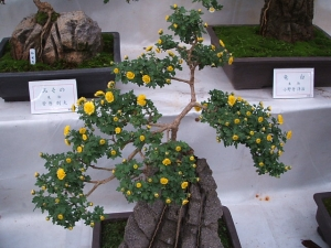 中尊寺菊祭り2013-10-26-034