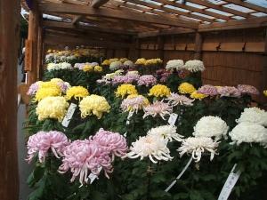 中尊寺菊祭り2013-10-26-041