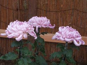 中尊寺菊祭り2013-10-26-040