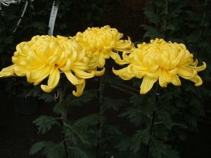 中尊寺菊祭り2013-10-26-038