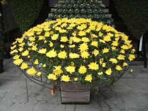 中尊寺菊祭り2013-10-26-056