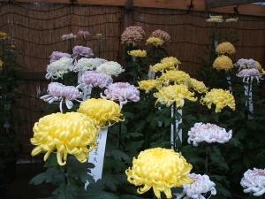 中尊寺菊祭り2013-10-26-063