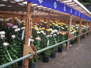 中尊寺菊祭り2013-10-26-062