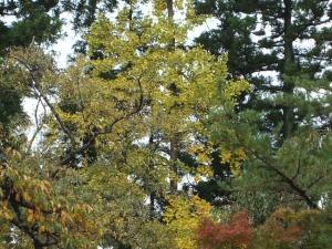 中尊寺菊祭り2013-10-26-061