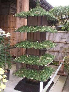 中尊寺菊祭り2013-10-26-058