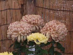中尊寺菊祭り2013-10-26-064