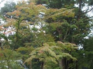 中尊寺菊祭り2013-10-26-075