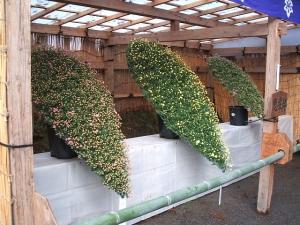 中尊寺菊祭り2013-10-26-122
