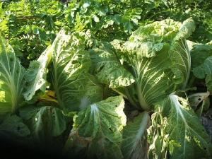 菜園2013-11-17-008
