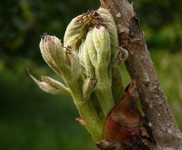 タラの芽樹上
