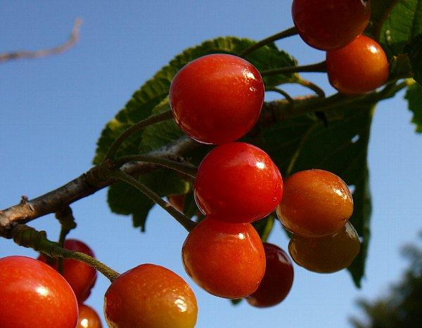 樹上果実アップ