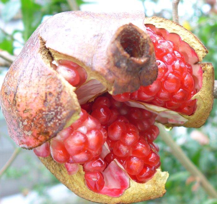 ザクロ裂果果実1008